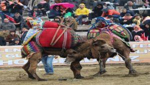 Selçuk deve güreşlerine hazır