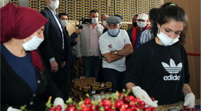 İzmir'in kirazı imeceyle toplanıyor