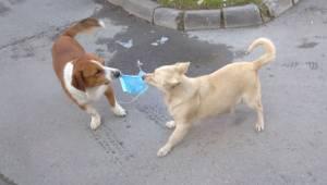 Köpeklerin maske savaşı